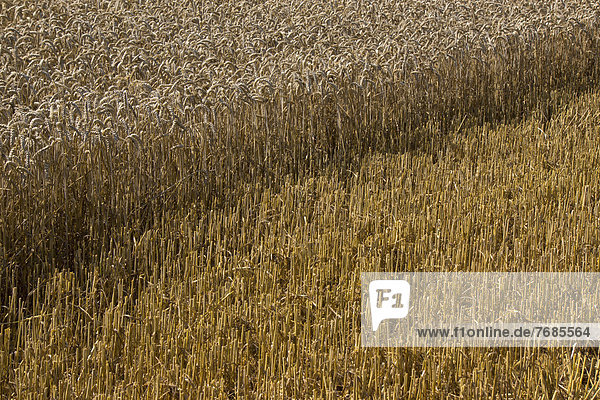 Partially harvested wheat field  cornfield