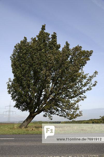 Baum  Wetterau  Hessen  Deutschland  Europa