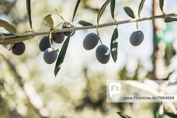 Baum  Wachstum  Ast  Olive Baum ,Wachstum ,Ast ,Olive
