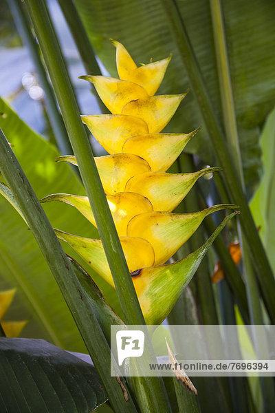Helikonie (Heliconia sp.)  Guadeloupe  Kleine Antillen  Karibik Helikonie (Heliconia sp.), Guadeloupe, Kleine Antillen, Karibik