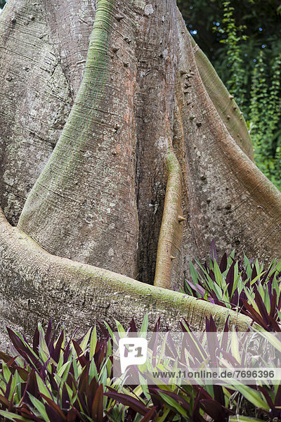 Brettwurzelbaum  Acomat Boucan (Sloanea caribaea)  Guadeloupe  Kleine Antillen  Karibik Brettwurzelbaum, Acomat Boucan (Sloanea caribaea), Guadeloupe, Kleine Antillen, Karibik