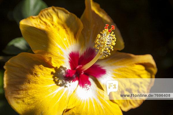 Hibiskusblüte (Hibiscus)  Guadeloupe  Kleine Antillen  Karibik Hibiskusblüte (Hibiscus), Guadeloupe, Kleine Antillen, Karibik
