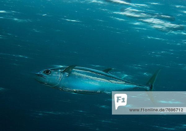 Dogtooth Tuna (Gymnosarda unicolor)  Barrier Reef