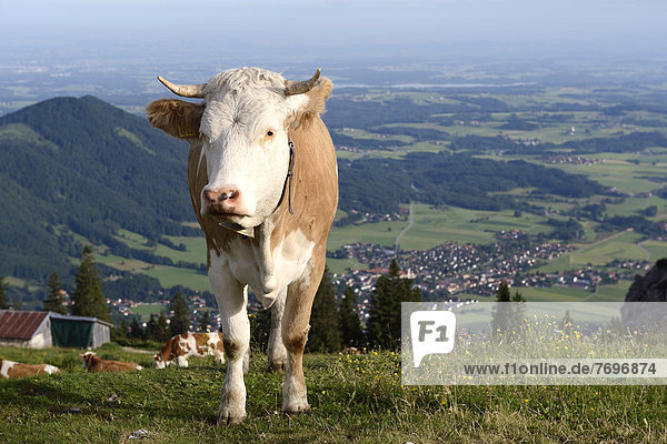 Cow grazing on Kampenwand mountain  the town of Aschau at the back  Chiemgau  Bavaria  Germany  Europe
