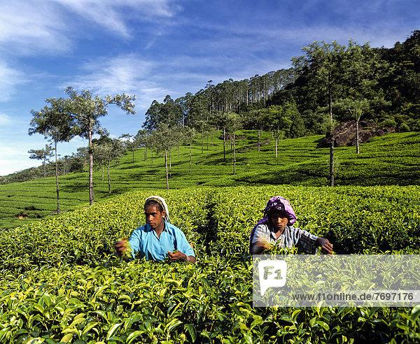 Teeplückerinnen  Teeplantage  Teeanbaugebiet im Hochland