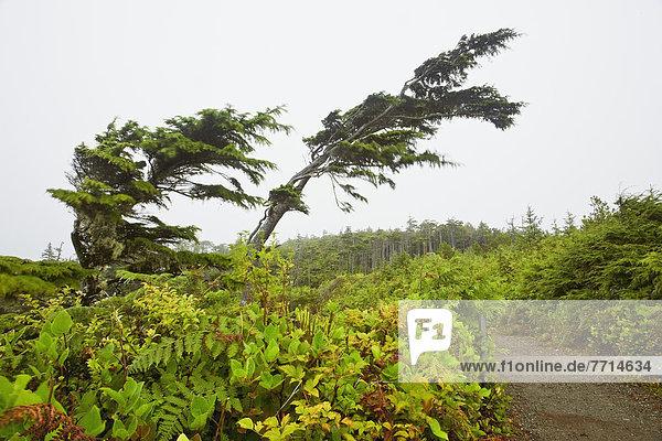 folgen  Baum  ungestüm  Insel  Pazifischer Ozean  Pazifik  Stiller Ozean  Großer Ozean  zerzaust  britisch  Kanada  Ucluelet  Vancouver