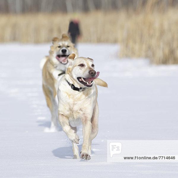 rennen  Wald  Hund  2  Assiniboine  Schnee