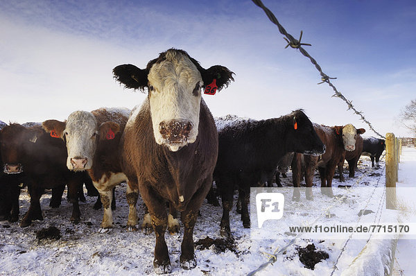 Tagged Cattle Huddle Together In Cold Winter Weather  Edmonton Alberta Canada