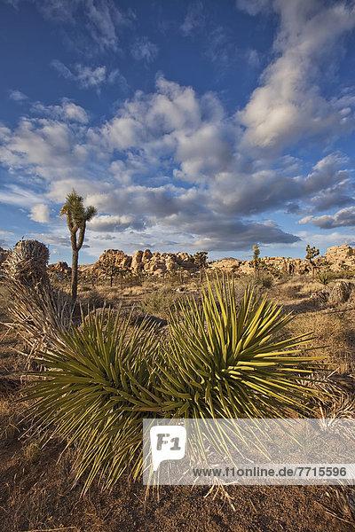 Nationalpark  Baum  Landschaft  Pflanze  Joshua Tree  Yucca brevifolia  Yucca rostrata  Punkt