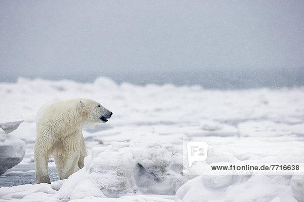 Eisbär  Ursus maritimus  Wasser  Eis  schwimmen  Bucht