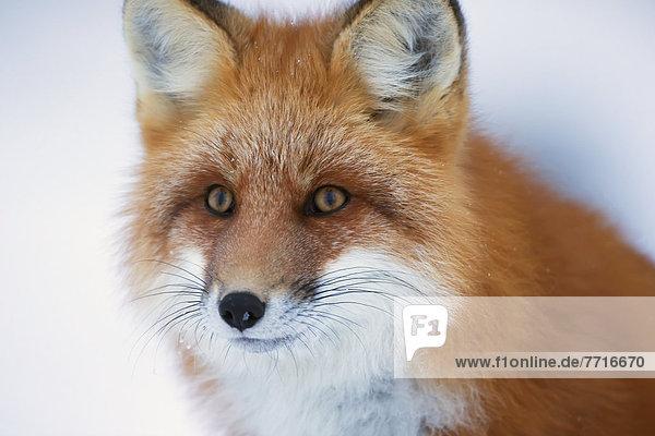 Portrait of red fox Churchill manitoba canada