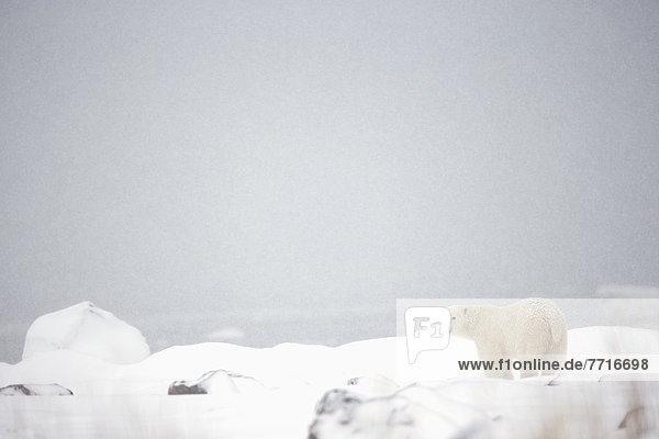 Eisbär  Ursus maritimus  stehend  Eis  Bucht
