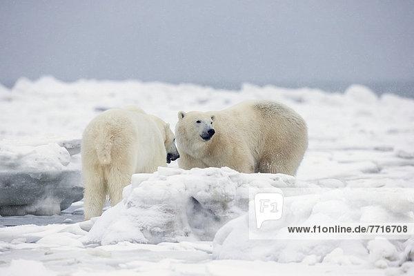 Bär  stehend  Eis  Bucht