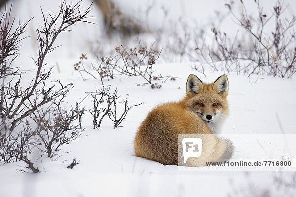 liegend  liegen  liegt  liegendes  liegender  liegende  daliegen  rot  Fuchs  Schnee