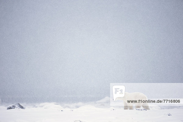 Eisbär  Ursus maritimus  Wasserrand  gehen  vorwärts  Bucht  Schnee