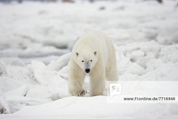 Eisbär  Ursus maritimus  gehen  Eis  Schnee