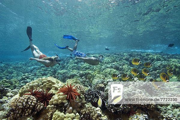 Falterfisch Chaetodontidae Freiheit Schönheit über Hawaii Maui maurisch Riff