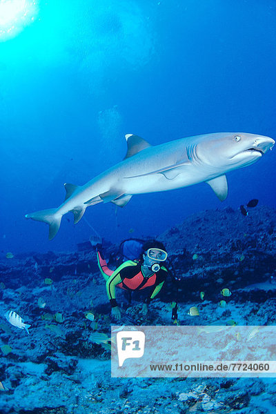 Whitetip Reef Shark With Diver  Reef Scene With Fish A78B