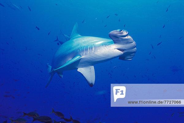 Hammerhai sphyrna mokarran hoch oben nahe Fisch Pisces Wolf Canis lupus offen klein Insel Darwin Galapagosinseln Hai