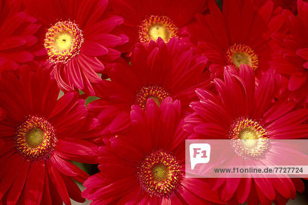 Close-Up Of Bunch  Red Daisies With Yellow Centers