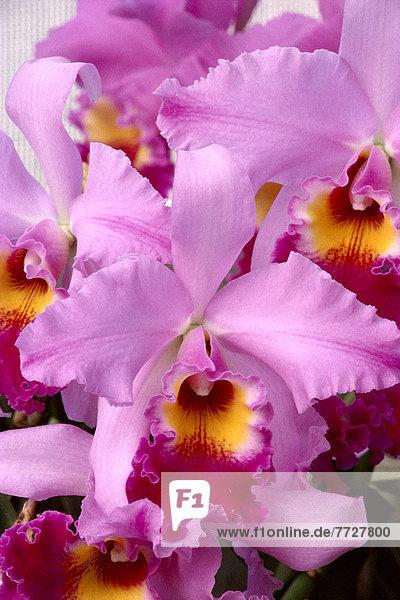 hoch  oben  nahe  lila  Orchidee  Helligkeit  blass
