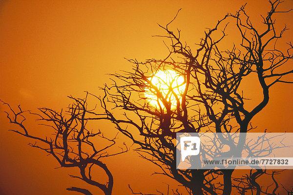 Sonnenuntergang  Baum  Silhouette  Ast  Hawaii