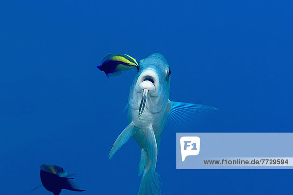 Meerbarbe Fensterputzer Reinigung Insel Naturvolk Hawaii hawaiianisch Lippfisch