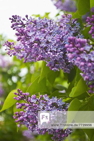 Fliederbusch  Flieder  Fliederbüsche  Strauch  lila