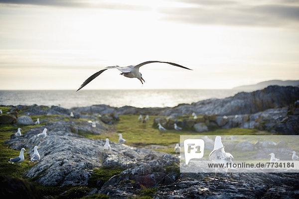 Seagulls Sitting On A Rock On The Coast  Race Rocks Island  British Columbia  Canada