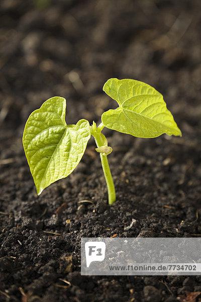 Bühne Theater  Bühnen  hoch  oben  nahe  Pflanzenblatt  Pflanzenblätter  Blatt  Pflanze  2  Bohne  Setzling