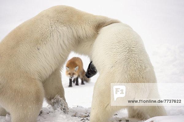 Bär  Kälte  warten  über  Hintergrund  Ringen  rot  Bucht  Fuchs