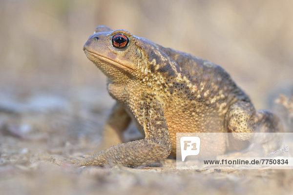 Mittelmeer-Erdkröte (Bufo bufo spinosus)  Weibchen  Vorkommen Südeuropa