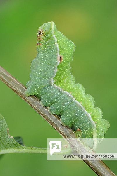 Raupe vom Nagelfleck (Aglia tau) sitzt auf Zweig