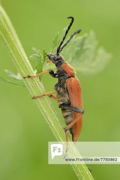 Rothalsbock oder Gemeiner Bockkäfer oder Roter Halsbock (Stictoleptura rubra)  Weibchen  sitzt auf Halm