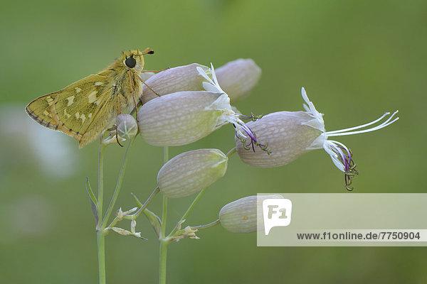 Komma-Dickkopffalter (Hesperia comma)  sitzt auf Blüte des Taubenkropf-Leimkrauts (Silene vulgaris)