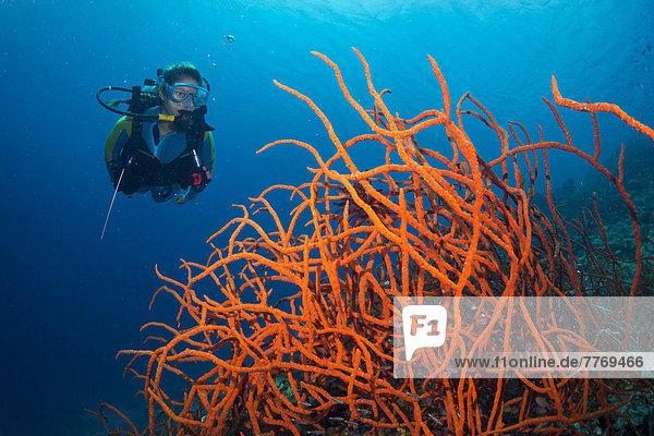 Scuba diver looking at a colorful Demosponge (Demospongiae)
