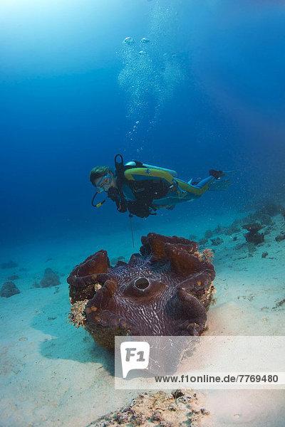 Taucher betrachtet eine Mördermuschel oder Große Riesenmuschel (Tridacna maxima)