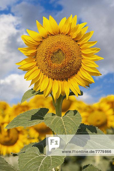 Sonnenblume gegen blauen Himmel