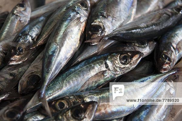 Makrelen auf dem Fischmarkt in Funchal  Insel Madeira  Portugal