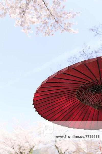 Kirsche  blühen  Sonnenschirm  Schirm