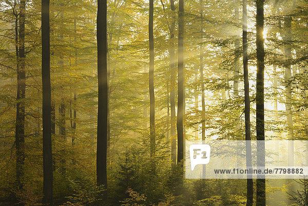 Sonnenstrahl  Morgen  Dunst  Wald  Herbst  Buche  Buchen  Bayern  Deutschland Sonnenstrahl ,Morgen ,Dunst ,Wald ,Herbst ,Buche, Buchen ,Bayern ,Deutschland