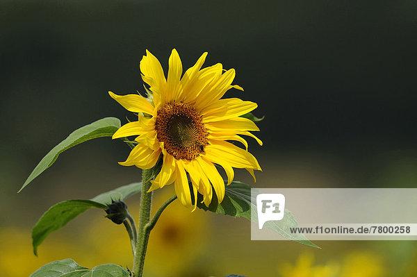 Sonnenblume  helianthus annuus  Blüte  Bayern  Deutschland
