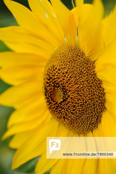 Detail  Details  Ausschnitt  Ausschnitte  Sonnenblume  helianthus annuus  Blüte  Bayern  Deutschland