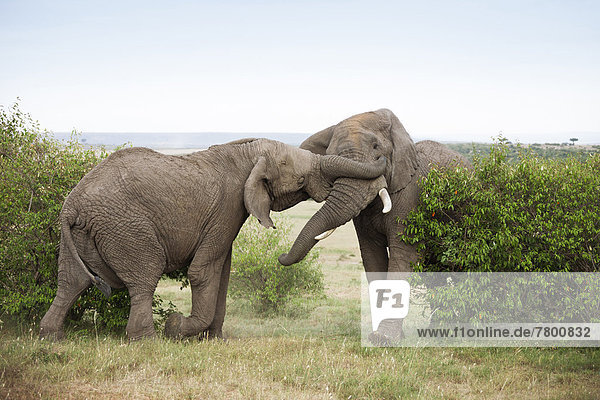 Bulle  Stier  Stiere  Bullen  Kampf  Strauch  Elefant  Masai Mara National Reserve  Afrika  Kenia