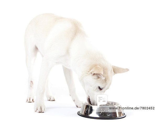 Mischlingshund frisst aus Fressnapf