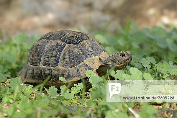 Riesenschildkröte Landschildkröte Schildkröte