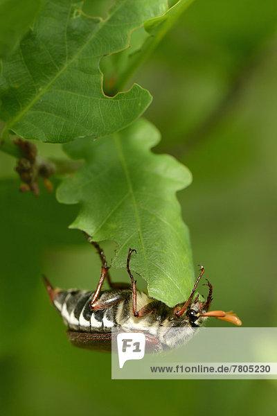 Gemeiner Maikäfer (Melolontha melolontha) hängt kopfüber an Eichenblatt
