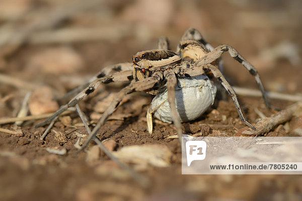 Wolfsspinne (Lycosa tarentula)  Weibchen trägt Eikokon