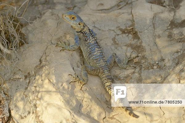 Hardun oder Schleuderschwanz (Laudakia stellio)  ausgewachsenes Männchen auf Fels