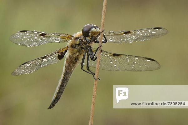 Vierfleck (Libellula quadrimaculata) ruht mit taunassen Flügeln auf Binsengras-Halm